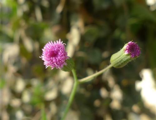 Miracle 100 seeds Emilia sonchifolia ancient thai herb