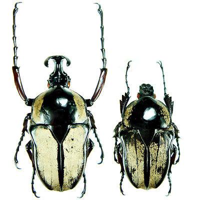 Insect - Herculasia melaleuca - Vietnam - Pair 37~38mm ....!!