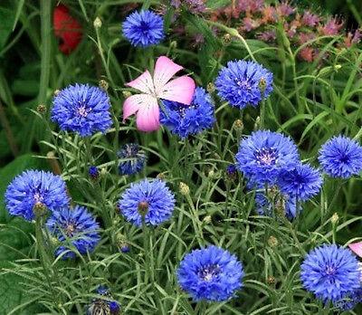 Heirloom Wildflowers Blue Flowers Bulk Seeds 20,000 ct 1 oz Blue Flax Seeds