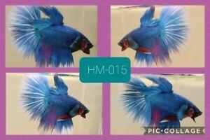 Betta Halfmoon Blue& white - Live Male [HM015] - high quality