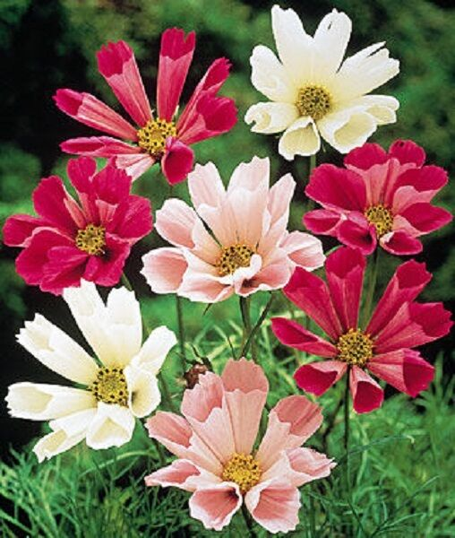 35+ Cosmos Seashells Mix Flower Seeds / Long Lasting Annual / Drought Tolerant