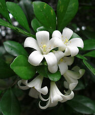 15 Semi Murraya paniculata Fiore profumato Gelsomino Tropicale Raro Bonsai Seeds