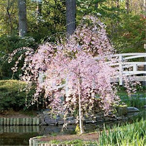 Dwarf pink weeping cherry tree 1 ft blooming for Dwarf decorative trees