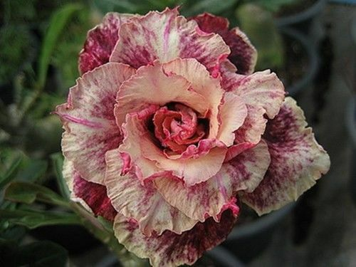 "5 Pcs Desert rose seed Adenium Obesum  /""peony /""flower bonsai#D072"
