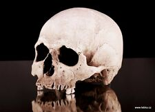 Human male skull replica - REAL SIZE, BRAND NEW (No.2)