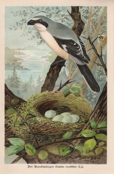 HonnêTe Raubwürger Lanius Excubitor Grauwürger Chromo Lithographie De 1896-aphie Von 1896