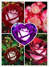 500 Mixed Seeds Rare Osiria Rose, Chinese Rose Flower, Rosa Semillas de Flores