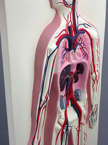 NEW Heart 3D Circulatory System Model Liver Lungs Anatomical