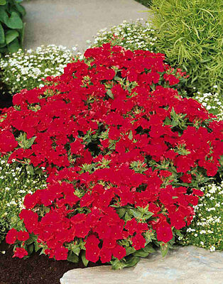FLOWER PHLOX SCARLET BEAUTY 400 FLOWER SEEDS   ANNUAL
