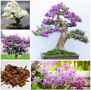 50-Pcs-Graines-Lilas-Bonsai-Clove-Fleurs-Arbre-Plantes-en-Pot-Maison-Jardin-Neuf-2019