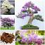 50-Pcs-Graines-Lilas-Bonsai-Clove-Fleurs-Arbre-Plantes-en-Pot-Maison-Jardin-Neuf-2019 miniature 1