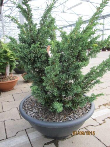 Blauer Zwergwacholder Juniperus chinensis Blaauw