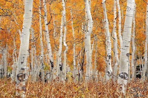 or Canvas Print Aspen Grove Fall Autumn Home Wall Decor Photograph Poster