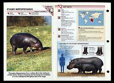 """PYGMY HIPPOPOTAMUS"" WILD LIFE FACT FILE ANIMAL CARD/HOME SCHOOL STUDY"