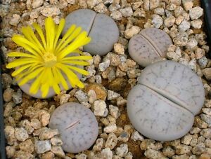 5 SEEDS Agave Glomerulifera Rare Succulent Samen Korn Semi Graine 種子 씨앗 Семена
