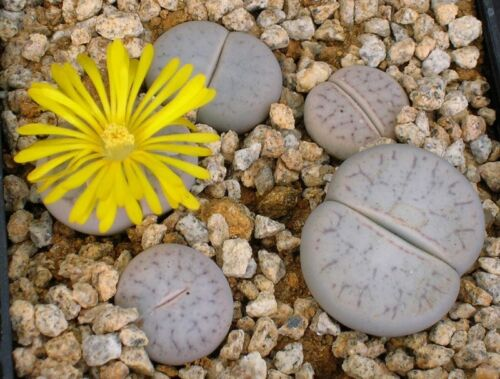 Succulent Samen Semi Korn  Семена Lithops Pseudotruncatella Volkii C69 5 SEEDS