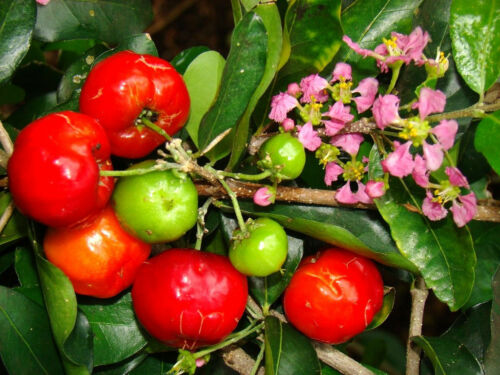 Barbados Cherry Antilles emarginata sweet exotic Tropical Fruits Graines 15 graines