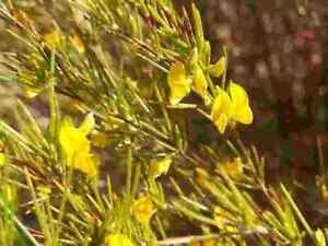 20-rare-seeds-Aspalathus-linearis-Rooibos-Red-Bush-Honeybush