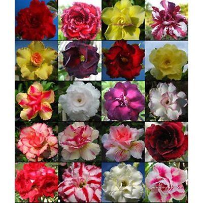 DESERT ROSE (ADENIUM OBESUM) MIXED COLORS 10 SEEDS  * exotic succulent * CombSH