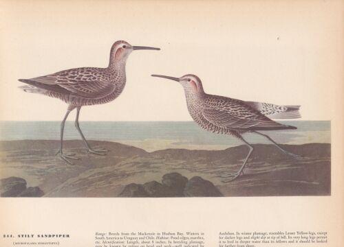 """1942 Vintage AUDUBON BIRDS #344 /""""STILT SANDPIPER/"""" Color Art Plate Lithograph"""
