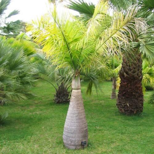 Hyophorbe lagenicaulis 10 Semi-Palma bottiglia