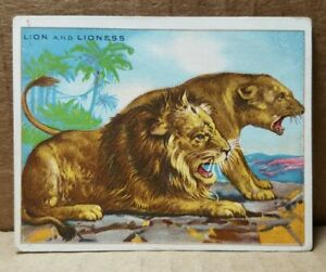 T29-Hassan-Cigarettes-Lion-and-Lioness-Card-B-3