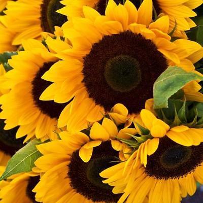 "/""USA/"" HEIRLOOM Velvet Queen Sunflower 25-400 seeds ORGANIC"
