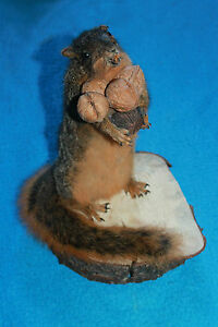 SUPER-FAT-amp-CUTE-MISSOURI-FOX-SQUIRREL-HOLDING-NUTS-TAXIDERMY-ANIMAL-HUNTING-ART