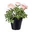 IKEA Fejka Artificial Potted Plant Indoor//Outdoor Ranunculus Pink 003.952.90