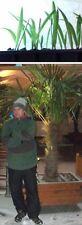 2 Hanf- Palmen große winterharte Freilandpalmen Gartenpalmen Palmensorten Garten