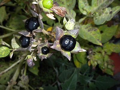 Atropa belladonna British species. 25 seeds Deadly Nightshade