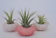 3-Pack-Air-Plant-and-Pink-Urchin-Kit thumbnail 1