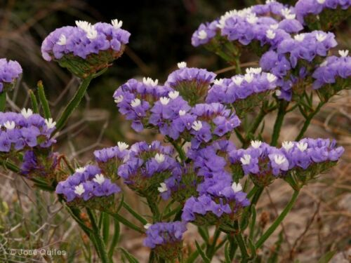 100 semi-Sea Lavender-LIMONIUM SINUATUM-Dry Bouquet di fiori Propri mix