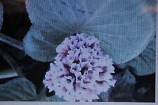 10 Semillas Té de Siberia,Bergenia crassifolia#395