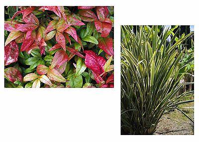 die orange-gelbe Fackel-Lilie und die immergrüne Kap-Aloe ! Samen-Spar-Set