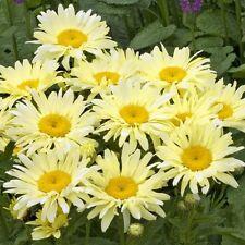 BANANA CREAM SHASTA DAISY ProvenWinners Perennial