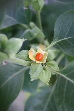 Withania somnifera INDIAN GINSENG Herb Seeds!