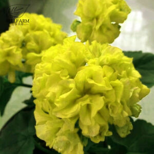 Geranium-Purely-Greenish-Yellow-Big-Blooms-Bonsai-Flowers-Seeds-Garden-Fragrant