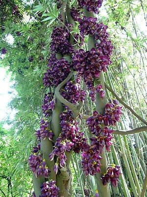 Rarest plants * Mucuna sempervirens *tropical unusual  vines*1 large viable seed