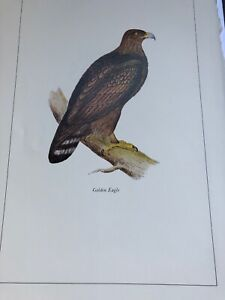 British Birds: Morris Golden Eagle Bird Art Print MORRIS ...