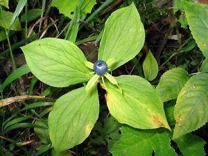 Paris Quadrifolia * Paris Herb True Lover Knot * Medicinal * Unusual * 3 Seeds *