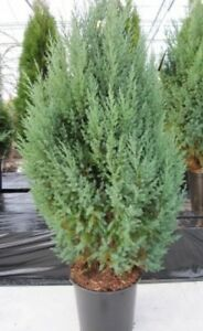 juniperus chinensis stricta chinesischer wacholder mooswacholder kegelwach ebay. Black Bedroom Furniture Sets. Home Design Ideas