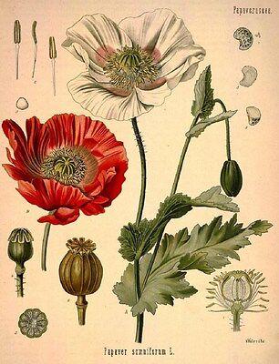 VINTAGE BOTANY PLANT POPPY PAPAVER SOMNIFERUM FLOWER 13X19 PRINT