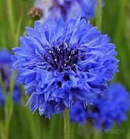 blue cornflower Flower seed 50 seeds Centaurea cyanus bluebottle boutonniere