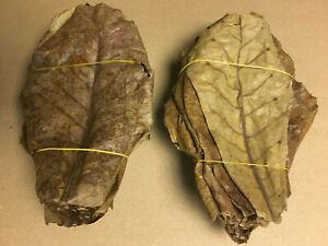 100-Seemandelbaumblaetter-10-20cm-lose-Terminalia-Catappa-Leaves-echter-BESTPREIS