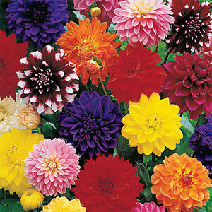 25 MIXED COLORED DAHLIA TUBER, ROOT, CLUMP WITH HUGE BLOOMS