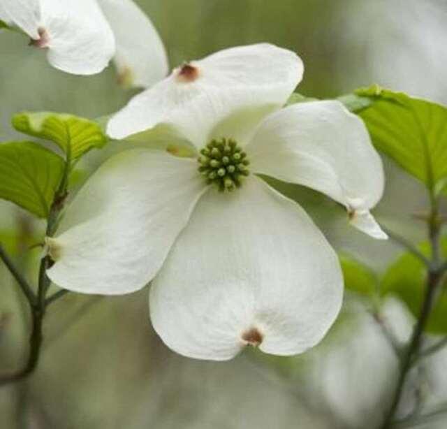 SOLITÄR Cornus kousa China Girl 120cm weißer chinesischer Blumenhartriegel