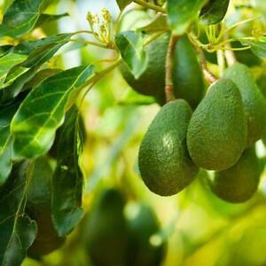 15Pcs-Rare-Avocado-Seeds-Bonsai-Tree-Exotic-Sweet-Fruit-Plant-Garden-DIY-T4N0