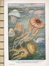 1932 PRINT ~ JELLY-FISH ~ OCEAN INVERTEBRATES AURELIA AURITA HASTATA CHARYBDEA