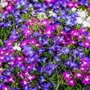 Lobelia Riviera Mix Appx 3000 Seeds Bedding Type Ebay